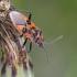 Raudonmargė kampuotblakė - Corizus hyoscyami   Fotografijos autorius : Darius Baužys   © Macrogamta.lt   Šis tinklapis priklauso bendruomenei kuri domisi makro fotografija ir fotografuoja gyvąjį makro pasaulį.