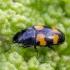 Žvilgvabalis - Glischrochilus grandis   Fotografijos autorius : Darius Baužys   © Macrogamta.lt   Šis tinklapis priklauso bendruomenei kuri domisi makro fotografija ir fotografuoja gyvąjį makro pasaulį.