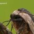 Sphinx ligustri - Ligustrinis sfinksas   Fotografijos autorius : Darius Baužys   © Macrogamta.lt   Šis tinklapis priklauso bendruomenei kuri domisi makro fotografija ir fotografuoja gyvąjį makro pasaulį.