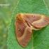 Lasiocampa quercus - Ąžuolinis verpikas | Fotografijos autorius : Darius Baužys | © Macrogamta.lt | Šis tinklapis priklauso bendruomenei kuri domisi makro fotografija ir fotografuoja gyvąjį makro pasaulį.