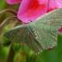 Hemithea aestivaria - Pilkšvasis žaliasprindis | Fotografijos autorius : Darius Baužys | © Macrogamta.lt | Šis tinklapis priklauso bendruomenei kuri domisi makro fotografija ir fotografuoja gyvąjį makro pasaulį.