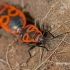 Pyrrhocoris apterus - Blakė kareivėlis | Fotografijos autorius : Darius Baužys | © Macrogamta.lt | Šis tinklapis priklauso bendruomenei kuri domisi makro fotografija ir fotografuoja gyvąjį makro pasaulį.