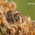 Agalenatea redii - Rudasis rezginuolis | Fotografijos autorius : Darius Baužys | © Macrogamta.lt | Šis tinklapis priklauso bendruomenei kuri domisi makro fotografija ir fotografuoja gyvąjį makro pasaulį.