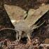 Orthosia incerta - Paprastasis ankstyvasis pelėdgalvis | Fotografijos autorius : Darius Baužys | © Macrogamta.lt | Šis tinklapis priklauso bendruomenei kuri domisi makro fotografija ir fotografuoja gyvąjį makro pasaulį.