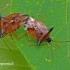 Elasmucha ferrugata - Mėlyninė skydblakė | Fotografijos autorius : Darius Baužys | © Macrogamta.lt | Šis tinklapis priklauso bendruomenei kuri domisi makro fotografija ir fotografuoja gyvąjį makro pasaulį.