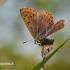 Lycaena tityrus - Tamsusis auksinukas | Fotografijos autorius : Darius Baužys | © Macrogamta.lt | Šis tinklapis priklauso bendruomenei kuri domisi makro fotografija ir fotografuoja gyvąjį makro pasaulį.