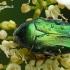 Cetonia aurata - Paprastasis auksavabalis / Bronzinukas | Fotografijos autorius : Darius Baužys | © Macrogamta.lt | Šis tinklapis priklauso bendruomenei kuri domisi makro fotografija ir fotografuoja gyvąjį makro pasaulį.