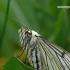 Siona lineata - Gyslotasis sprindžius | Fotografijos autorius : Darius Baužys | © Macrogamta.lt | Šis tinklapis priklauso bendruomenei kuri domisi makro fotografija ir fotografuoja gyvąjį makro pasaulį.