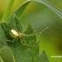 Enoplognatha ovata - Paprastasis pinkliavoris   Fotografijos autorius : Darius Baužys   © Macrogamta.lt   Šis tinklapis priklauso bendruomenei kuri domisi makro fotografija ir fotografuoja gyvąjį makro pasaulį.
