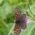 Melitaea diamina - Tamsioji šaškytė | Fotografijos autorius : Darius Baužys | © Macrogamta.lt | Šis tinklapis priklauso bendruomenei kuri domisi makro fotografija ir fotografuoja gyvąjį makro pasaulį.