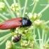 Ampedus pomonae - Kelmaspragšis | Fotografijos autorius : Darius Baužys | © Macrogamta.lt | Šis tinklapis priklauso bendruomenei kuri domisi makro fotografija ir fotografuoja gyvąjį makro pasaulį.