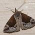 Hypena crassalis - Pilkrudis sprindinis naktinukas | Fotografijos autorius : Darius Baužys | © Macrogamta.lt | Šis tinklapis priklauso bendruomenei kuri domisi makro fotografija ir fotografuoja gyvąjį makro pasaulį.