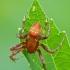 Keturdėmis kryžiuotis - Araneus quadratus, patinas | Fotografijos autorius : Darius Baužys | © Macrogamta.lt | Šis tinklapis priklauso bendruomenei kuri domisi makro fotografija ir fotografuoja gyvąjį makro pasaulį.
