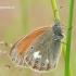 Coenonympha glycerion - Tamsusis satyriukas   Fotografijos autorius : Darius Baužys   © Macrogamta.lt   Šis tinklapis priklauso bendruomenei kuri domisi makro fotografija ir fotografuoja gyvąjį makro pasaulį.