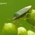 Palomena prasina - Medinė skydblakė | Fotografijos autorius : Darius Baužys | © Macrogamta.lt | Šis tinklapis priklauso bendruomenei kuri domisi makro fotografija ir fotografuoja gyvąjį makro pasaulį.
