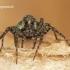 Pardosa sp. - Šuolininkas | Fotografijos autorius : Darius Baužys | © Macrogamta.lt | Šis tinklapis priklauso bendruomenei kuri domisi makro fotografija ir fotografuoja gyvąjį makro pasaulį.
