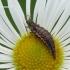 Chrysopa sp. - Auksaakė | Fotografijos autorius : Darius Baužys | © Macrogamta.lt | Šis tinklapis priklauso bendruomenei kuri domisi makro fotografija ir fotografuoja gyvąjį makro pasaulį.
