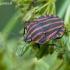 Graphosoma lineatum - Juostelinė skydblakė | Fotografijos autorius : Darius Baužys | © Macrogamta.lt | Šis tinklapis priklauso bendruomenei kuri domisi makro fotografija ir fotografuoja gyvąjį makro pasaulį.