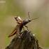 Kryžiuotasis rugiaspragšis - Selatosomus cruciatus | Fotografijos autorius : Darius Baužys | © Macrogamta.lt | Šis tinklapis priklauso bendruomenei kuri domisi makro fotografija ir fotografuoja gyvąjį makro pasaulį.