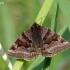 Rusvasis dobilinukas - Euclidia glyphica   Fotografijos autorius : Darius Baužys   © Macrogamta.lt   Šis tinklapis priklauso bendruomenei kuri domisi makro fotografija ir fotografuoja gyvąjį makro pasaulį.