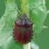 Lenktagalvė vėžliablakė - Eurygaster testudinaria | Fotografijos autorius : Darius Baužys | © Macrogamta.lt | Šis tinklapis priklauso bendruomenei kuri domisi makro fotografija ir fotografuoja gyvąjį makro pasaulį.