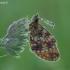 Pievinis perlinukas - Boloria selene | Fotografijos autorius : Darius Baužys | © Macrogamta.lt | Šis tinklapis priklauso bendruomenei kuri domisi makro fotografija ir fotografuoja gyvąjį makro pasaulį.