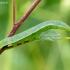 Citrinukas - Gonepteryx rhamni, vikšras | Fotografijos autorius : Darius Baužys | © Macrogamta.lt | Šis tinklapis priklauso bendruomenei kuri domisi makro fotografija ir fotografuoja gyvąjį makro pasaulį.