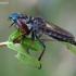 Plėšriamusė - Pamponerus germanicus  | Fotografijos autorius : Darius Baužys | © Macrogamta.lt | Šis tinklapis priklauso bendruomenei kuri domisi makro fotografija ir fotografuoja gyvąjį makro pasaulį.