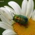 Žaliasis paslėptagalvis - Cryptocephalus sericeus | Fotografijos autorius : Darius Baužys | © Macrogamta.lt | Šis tinklapis priklauso bendruomenei kuri domisi makro fotografija ir fotografuoja gyvąjį makro pasaulį.