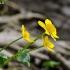 Pelkinė puriena - Caltha palustris | Fotografijos autorius : Darius Baužys | © Macrogamta.lt | Šis tinklapis priklauso bendruomenei kuri domisi makro fotografija ir fotografuoja gyvąjį makro pasaulį.