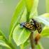 Taškuotasis gluosninukas - Chrysomela vigintipunctata | Fotografijos autorius : Darius Baužys | © Macrogamta.lt | Šis tinklapis priklauso bendruomenei kuri domisi makro fotografija ir fotografuoja gyvąjį makro pasaulį.
