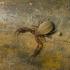 Pseudoskorpionas - Allochernes wideri | Fotografijos autorius : Darius Baužys | © Macrogamta.lt | Šis tinklapis priklauso bendruomenei kuri domisi makro fotografija ir fotografuoja gyvąjį makro pasaulį.
