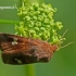 Amphipoea oculea - Rausvasis stiebinukas | Fotografijos autorius : Darius Baužys | © Macrogamta.lt | Šis tinklapis priklauso bendruomenei kuri domisi makro fotografija ir fotografuoja gyvąjį makro pasaulį.
