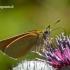 Thymelicus sylvestris - Raudonbuožis storgalvis | Fotografijos autorius : Darius Baužys | © Macrogamta.lt | Šis tinklapis priklauso bendruomenei kuri domisi makro fotografija ir fotografuoja gyvąjį makro pasaulį.