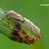 Rausvasparnė skydblakė - Carpocoris purpureipennis   Fotografijos autorius : Darius Baužys   © Macrogamta.lt   Šis tinklapis priklauso bendruomenei kuri domisi makro fotografija ir fotografuoja gyvąjį makro pasaulį.