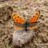 Lycaena phlaeas - Mažasis auksinukas | Fotografijos autorius : Vitas Stanevičius | © Macrogamta.lt | Šis tinklapis priklauso bendruomenei kuri domisi makro fotografija ir fotografuoja gyvąjį makro pasaulį.