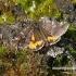 Archiearis parthenias - Paprastasis pavasarinukas | Fotografijos autorius : Vitas Stanevičius | © Macrogamta.lt | Šis tinklapis priklauso bendruomenei kuri domisi makro fotografija ir fotografuoja gyvąjį makro pasaulį.