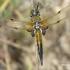 Libellula quadrimaculata - Keturtaškė skėtė | Fotografijos autorius : Vitas Stanevičius | © Macrogamta.lt | Šis tinklapis priklauso bendruomenei kuri domisi makro fotografija ir fotografuoja gyvąjį makro pasaulį.