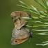 Maniola jurtina - Paprastasis jautakis satyras | Fotografijos autorius : Vitas Stanevičius | © Macrogamta.lt | Šis tinklapis priklauso bendruomenei kuri domisi makro fotografija ir fotografuoja gyvąjį makro pasaulį.