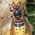Vespa crabro - Širšuolas | Fotografijos autorius : Vitas Stanevičius | © Macrogamta.lt | Šis tinklapis priklauso bendruomenei kuri domisi makro fotografija ir fotografuoja gyvąjį makro pasaulį.