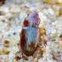 Laukažygis - Amara apricaria | Fotografijos autorius : Romas Ferenca | © Macrogamta.lt | Šis tinklapis priklauso bendruomenei kuri domisi makro fotografija ir fotografuoja gyvąjį makro pasaulį.