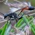 Smėlinė amofila - Ammophila sabulosa | Fotografijos autorius : Romas Ferenca | © Macrogamta.lt | Šis tinklapis priklauso bendruomenei kuri domisi makro fotografija ir fotografuoja gyvąjį makro pasaulį.