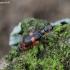 Juostuotasis pūsliavabalis - Anthocomus fasciatus | Fotografijos autorius : Romas Ferenca | © Macrogamta.lt | Šis tinklapis priklauso bendruomenei kuri domisi makro fotografija ir fotografuoja gyvąjį makro pasaulį.