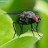 Žiedenė - Botanophila sp. | Fotografijos autorius : Romas Ferenca | © Macrogamta.lt | Šis tinklapis priklauso bendruomenei kuri domisi makro fotografija ir fotografuoja gyvąjį makro pasaulį.