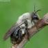 Smėliabitė - Andrena vaga | Fotografijos autorius : Romas Ferenca | © Macrogamta.lt | Šis tinklapis priklauso bendruomenei kuri domisi makro fotografija ir fotografuoja gyvąjį makro pasaulį.