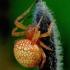 Araneus alsine - Rausvapilvis kryžiuotis | Fotografijos autorius : Romas Ferenca | © Macrogamta.lt | Šis tinklapis priklauso bendruomenei kuri domisi makro fotografija ir fotografuoja gyvąjį makro pasaulį.