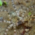 Arctosa cinerea - Pilkasis pasalūnas | Fotografijos autorius : Romas Ferenca | © Macrogamta.lt | Šis tinklapis priklauso bendruomenei kuri domisi makro fotografija ir fotografuoja gyvąjį makro pasaulį.