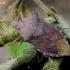 Bukaragė skydblakė - Arma custos | Fotografijos autorius : Romas Ferenca | © Macrogamta.lt | Šis tinklapis priklauso bendruomenei kuri domisi makro fotografija ir fotografuoja gyvąjį makro pasaulį.