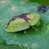 Usninis skydinukas - Cassida vibex | Fotografijos autorius : Romas Ferenca | © Macrogamta.lt | Šis tinklapis priklauso bendruomenei kuri domisi makro fotografija ir fotografuoja gyvąjį makro pasaulį.