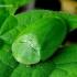 Žaliasis skydinukas - Cassida viridis | Fotografijos autorius : Romas Ferenca | © Macrogamta.lt | Šis tinklapis priklauso bendruomenei kuri domisi makro fotografija ir fotografuoja gyvąjį makro pasaulį.